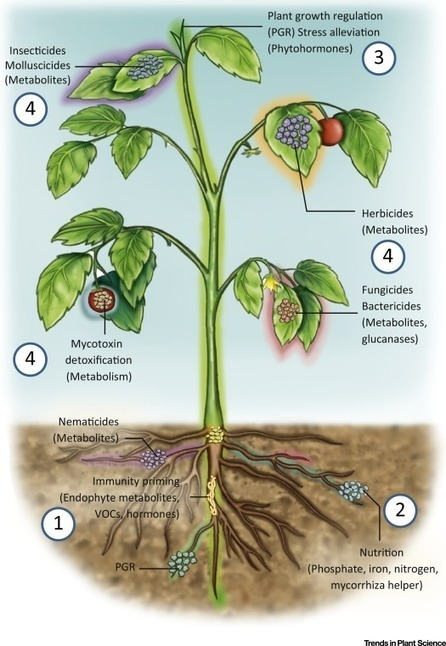 Plenty Is No Plague: Streptomyces Symbiosis with Crops | Plant roots and rhizosphere | Scoop.it