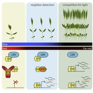 Integration of Phytochrome and Cryptochrome Signals Determines Plant Growth during Competition for Light | plant cell genetics | Scoop.it