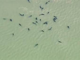 Ten whales dead, 41 others beached off Florida Gulf Coast | Earth Island Institute Philippines | Scoop.it