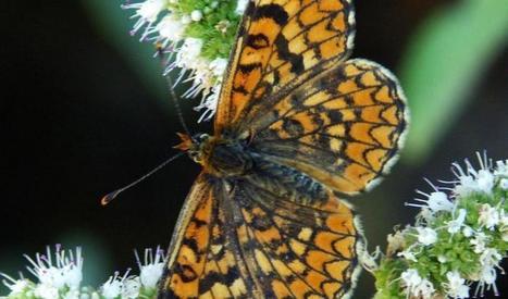 Première évaluation de l'état de conservation des papillons du pourtour méditerranéen par l'UICN   EntomoNews   Scoop.it