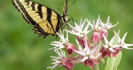 Photo: Swallowtail parks on the milkweed | CLOVER ENTERPRISES ''THE ENTERTAINMENT OF CHOICE'' | Scoop.it