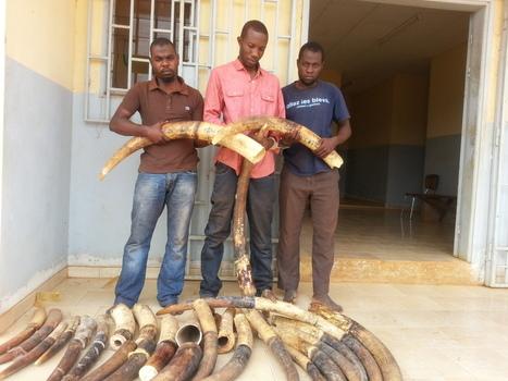 21 pointes d'ivoire saisies sur l'axe Makokou-Lalara - GABONEWS   Ces animaux sauvages ou domestiques maltraités par l'homme   Scoop.it