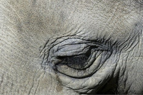 Ivory Might be On the Way Out … But Elephant Leather Sales Are on the Rise | Rhino Poaching & Wildlife Crime | Scoop.it