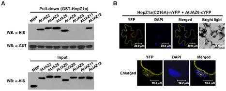 PLOS Pathogens: Bacterial Effector Activates Jasmonate Signaling by Directly Targeting JAZ Transcriptional Repressors (2013) | Effectors and Plant Immunity | Scoop.it