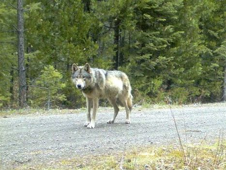 Lone Wolf That Took Epic Journey Across West Finds a Mate | Nature enviroment and life. | Scoop.it