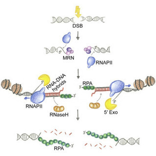 Transient RNA-DNA Hybrids Are Required for Efficient Double-Strand Break Repair | Interaction, and more... | Scoop.it