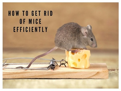 How to Get Rid of Mice Efficiently | Tips and tricks | Scoop.it
