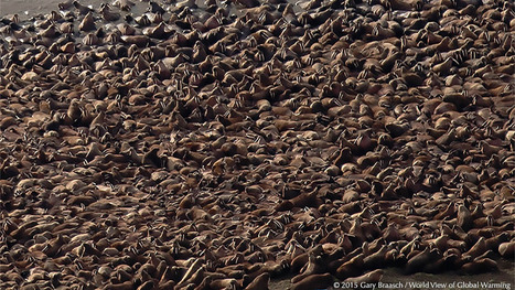 Disappearing sea ice forces thousands of walruses to haul out on the coast of Alaska | Sustain Our Earth | Scoop.it