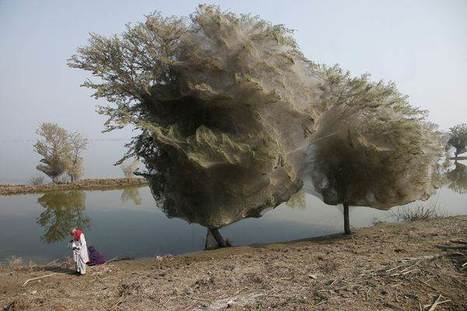 Pakistan Trees Cocooned in Spider Webs | Global education = global understanding | Scoop.it