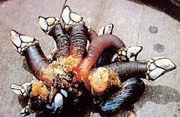 Le pousse pied, un crustacé marin méconnu | Gastronomie et alimentation pour la santé | Scoop.it