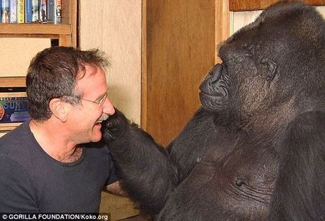 TOUCHING VIDEO: Robin Williams Meets Koko the Gorilla | History of social behavior and nonverbal communication | Scoop.it