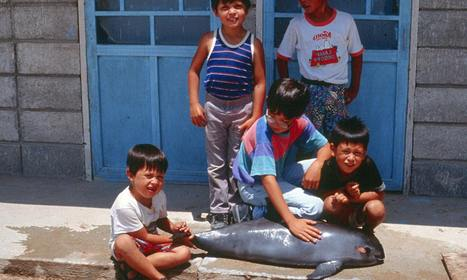 Mexico urged to act and save world's smallest porpoise – the little sea cow | The Geography of Mexico | Scoop.it
