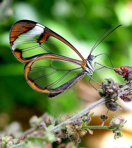 12 Breathtaking Glasswinged Butterfly Photography Examples | All about nature | Scoop.it
