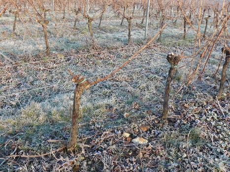 Un concentré de bois de vigne prometteur comme conservateur naturel du vin rouge | Winemak-in | Scoop.it