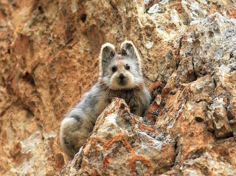 Rare, Adorable Pika Photographed For First Time in Decades | Art, Photography, etc | Scoop.it