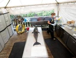 US dolphin deaths set to rise as migration begins - life - 23 September 2013 - New Scientist | Wildlife | Scoop.it