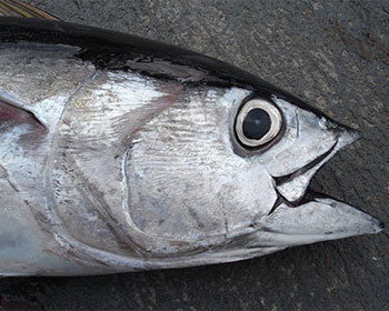 Bigeye tuna catch cut arouses controversy   Aquaculture Directory   Hassan   Scoop.it