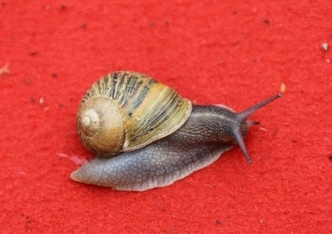 France: Eastern European snails spark food row - Scotsman | Heliculture | Scoop.it