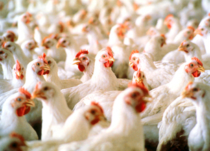 Under Threat of Lawsuit FDA to Withdraw Approvals of Arsenic in Animal Feed   EcoWatch   Scoop.it