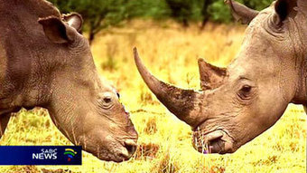 Africans need to work together to combat rhino poaching: Interpol - South African Broadcasting Corporation | Help save our Rhinos | Scoop.it