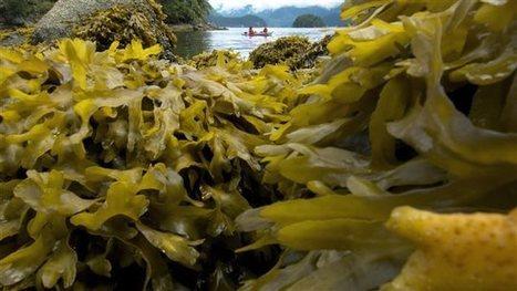 Gaspésie : une subvention de 2,3 M $ pour la recherche sur les algues - Radio-Canada   The Blue Industrial Revolution   Scoop.it