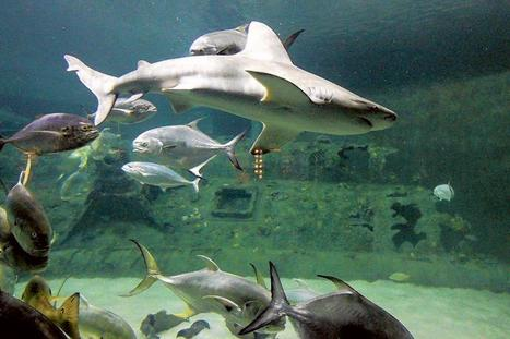 Shark populations in decline | All about water, the oceans, environmental issues | Scoop.it