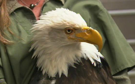 Wounded Eagle Gets New 3D Printed Beak | Social Mercor | Scoop.it