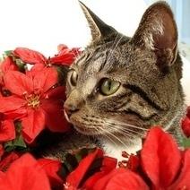 5 plantes d'hiver toxiques pour les chiens et les chats | Toxique, soyons vigilant ! | Scoop.it