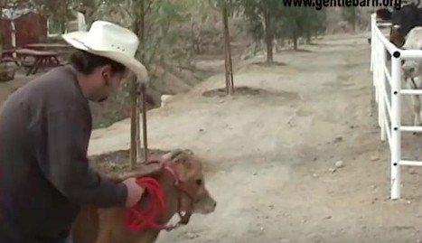 Crying Mother Cow Greets Lost Baby In Breathtaking Reunion | Compassion in Action | Scoop.it