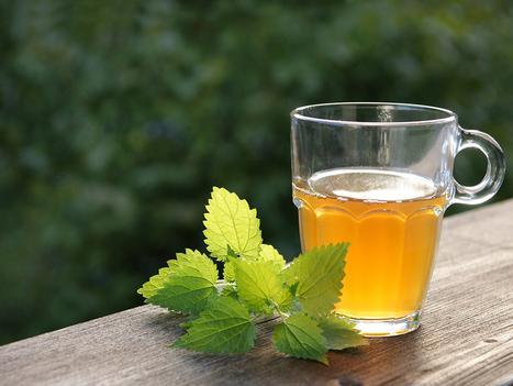 Health Benefits of Drinking Nettle Tea | ForHealthBenefits | Scoop.it