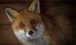Anti-foxhunting groups lobby SNP MPs to help quash hunting ban repeal | Agua | Scoop.it