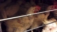 Group alleges animal cruelty at 2 Alberta chicken farms | CTV News | Free Range Farming | Scoop.it
