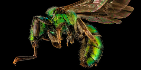 Beyond Honeybees: Now Wild Bees and Butterflies May Be in Trouble   Social Foraging   Scoop.it