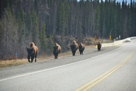 PCS 2013: Day 4 | To Fort Nelson, British Columbia #Wildlife | My Funny Africa.. Bushwhacker anecdotes | Scoop.it