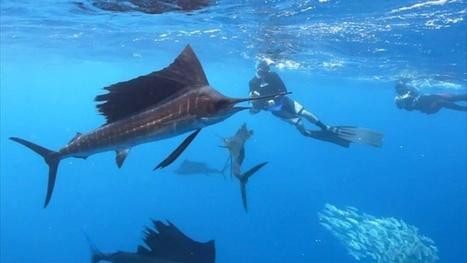 Vidéo Full HD | Mexique - Plongée avec le marlin voilier ! | Plongeurs.TV | Scoop.it