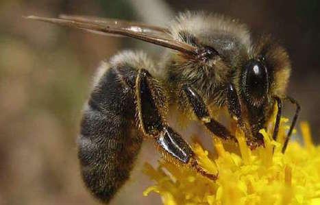 La vie rêvée des abeilles noires d'Ouessant - Bretagne Bretons | apiculture 2.0 | Scoop.it