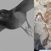 This dinosaur-era bird had a full set of teeth for crushing armored prey | Palaeontology News | Scoop.it