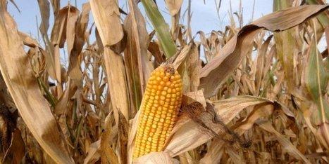 Malgré l'opposition de 19 pays, un nouveau maïs OGM va être cultivé en Europe | Agriculture en Dordogne | Scoop.it