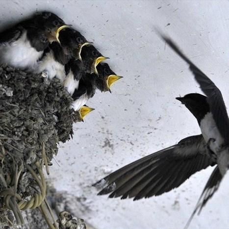Οι θαυμαστές πτήσεις των χελιδονιών   ΔΙΑΧΕΙΡΙΣΗ ΦΥΣΙΚΩΝ ΠΟΡΩΝ - ADMINISTRATION  OF NATURAL RESOURCES   Scoop.it