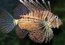 SCUBA SCOOP/latest dive stories: Lionfish population is exploding in the Gulf just two years after they first arrived | All about water, the oceans, environmental issues | Scoop.it