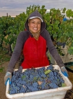 Wine Institute: 2013 California Harvest Report -- Early, Exceptional Quality Vintage Throughout the State   Autour du vin   Scoop.it