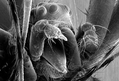 Certaines araignées sont de bien meilleures combattantes sans leurs imposantes parties génitales. | GuruMeditation | Nature insolite | Scoop.it