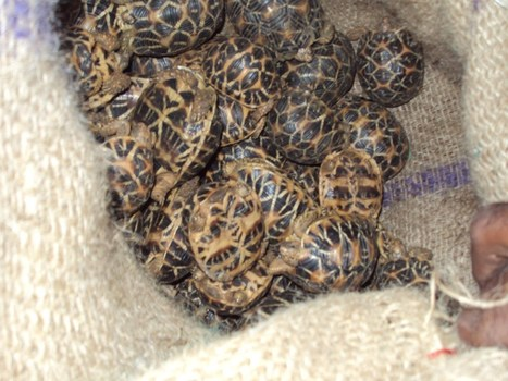 Despite Arrests, Illegal Trade in Star Tortoises Continues Unabated | Conservation | Scoop.it