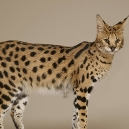Savannah Cat | Cat Breeds Information | Scoop.it
