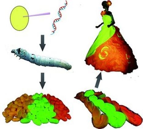 GM silkworms bred to spin red, green and orange fluorescent silk | Amazing Science | Scoop.it