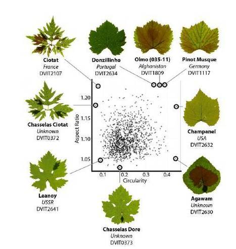 Plant Phys: A modern ampelography: a genetic basis for leaf shape and venation patterning in Vitis vinifera | Biology | Scoop.it
