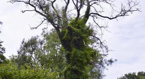 Malade, 20 % de la forêt de Guînes sera abattue | Protection du bois | Scoop.it