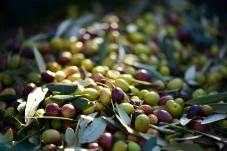 Olive Oil: From Grove to Table | Italia Mia | Scoop.it
