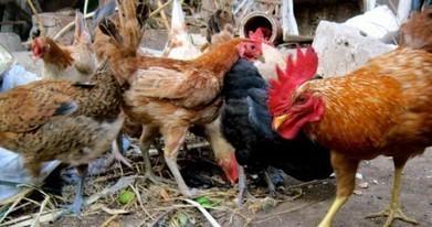 L'odeur des poulets repousse les moustiques porteurs du paludisme | Slate Afrique | EntomoNews | Scoop.it