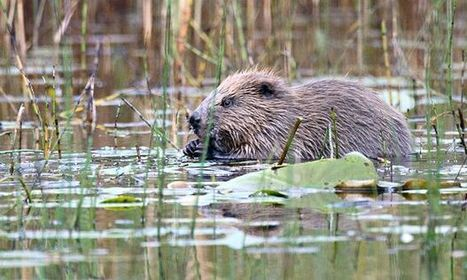 Scotland wild beaver reintroduction trial 'an outstanding success'   Sustainable Futures   Scoop.it